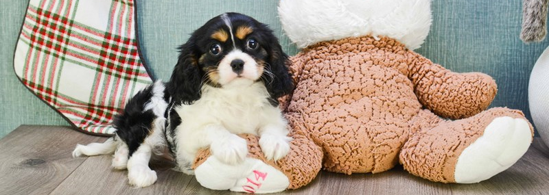 cavalierkingcharlesspanielpuppiesforsale2 - Getting a Puppy for the First Time
