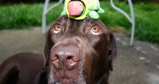 chocolate labrador with turtle 14091071 310x165 - How to Train Your Puppy