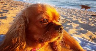 Ruby Cavalier King Charles Spaniel at the Beach