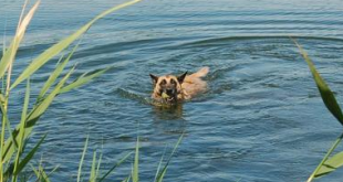 dogswim 310x165 - Ways You Can Get Fit With Your Dog