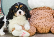 cavalierkingcharlesspanielpuppiesforsale2 110x75 - Surprising curiosities about Cavalier King Charles Spaniels
