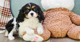 cavalierkingcharlesspanielpuppiesforsale2 310x165 - Surprising curiosities about Cavalier King Charles Spaniels