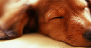 dogsleep 310x165 - How Many Hours a Day Do Dogs Sleep?