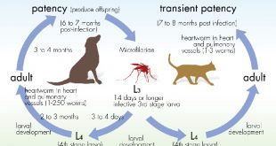 Canine Heartworm