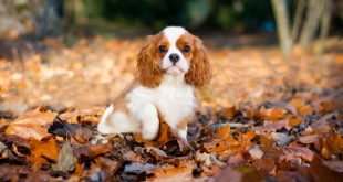803287233519 310x165 - Cavalier King Charles Rescue - Why You Should Adopt a Rescue Dog