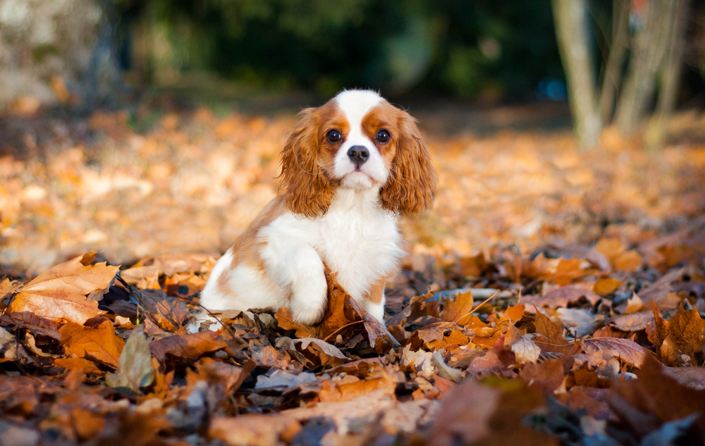 803287233519 - Cavalier King Charles Spaniel - Do They Shed?