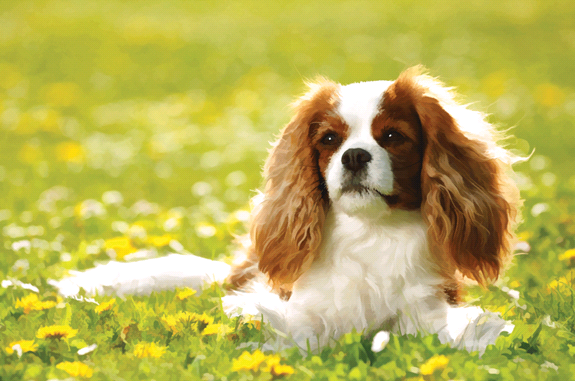 cavalier1 - Cavalier King Charles Spaniels, One of the Best Breeds...