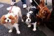 cavalier3 110x75 - Cavalier King Charles Spaniels, One of the Best Breeds...