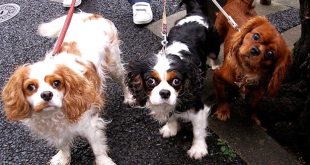 cavalier3 310x165 - Cavalier King Charles Spaniels, One of the Best Breeds...