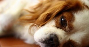 9701290048 9be71e0312 b 1024x683 1 11 310x165 - Dog Allergies: Does Yours Have Them?