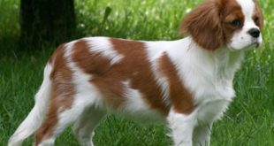 Cavalier20King20Charles20Spaniel20cute20dog1 310x165 - Why Do Dogs Shed?