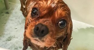 22277674 2126300384264117 5863246699731877888 n 310x165 - Dry Skin on Dogs
