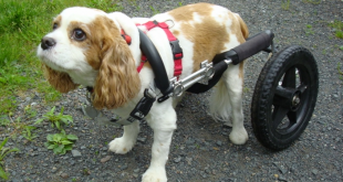 eddies wheels 310x165 - Can a Dog Wheelchair Help Smaller Dogs?