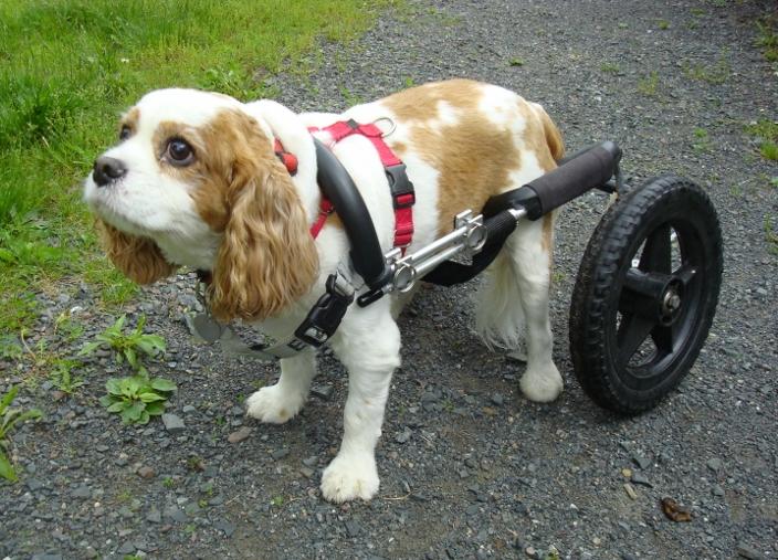 eddies wheels - Can a Dog Wheelchair Help Smaller Dogs?