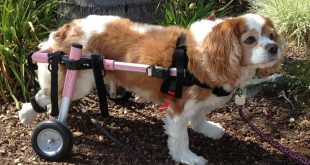 cavwheelchair 310x165 - Everything You Need to Know About Dog Wheelchairs