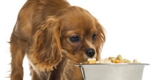 best dog food for cavalier king charles spaniels 11 310x165 - Raw Food Diet For Your Dog