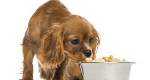 cavalierfood 310x165 - Benefits of Homemade Dog Food - Why Homemade Dog Food?