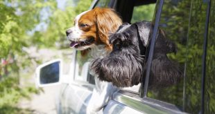 coup de chaleur animaux1 310x165 - Why Do Dogs Stick Their Heads Out the Window