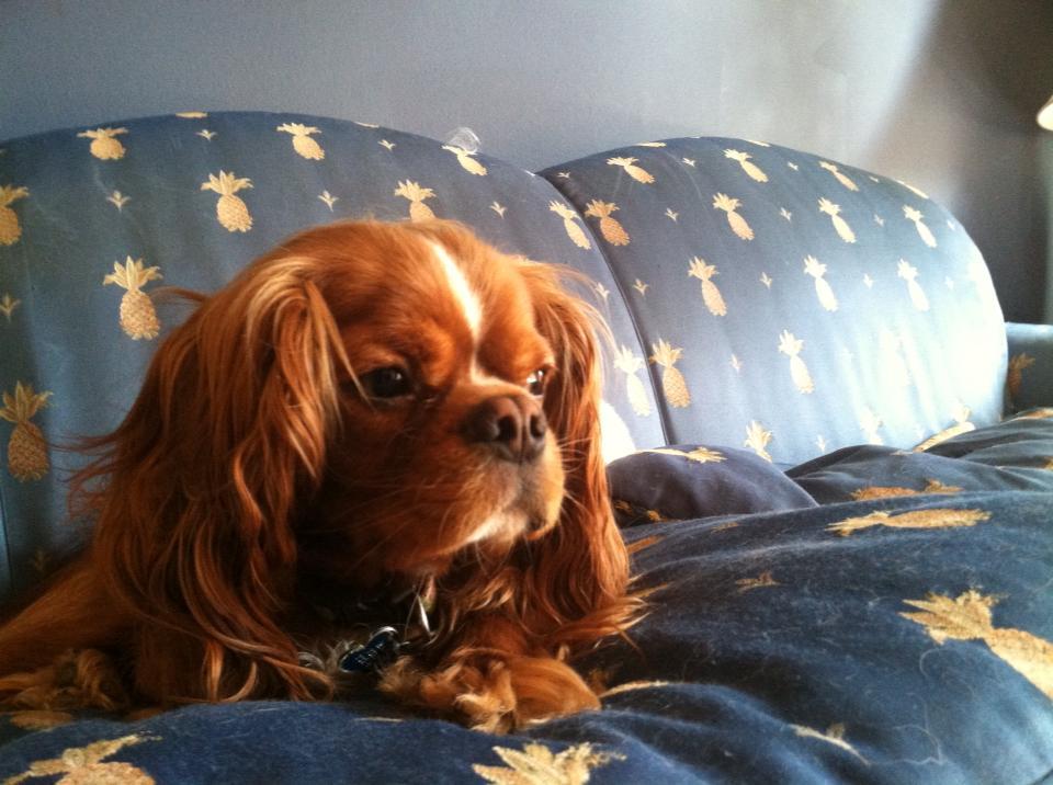 Ruby Cavalier King Charles Spaniels