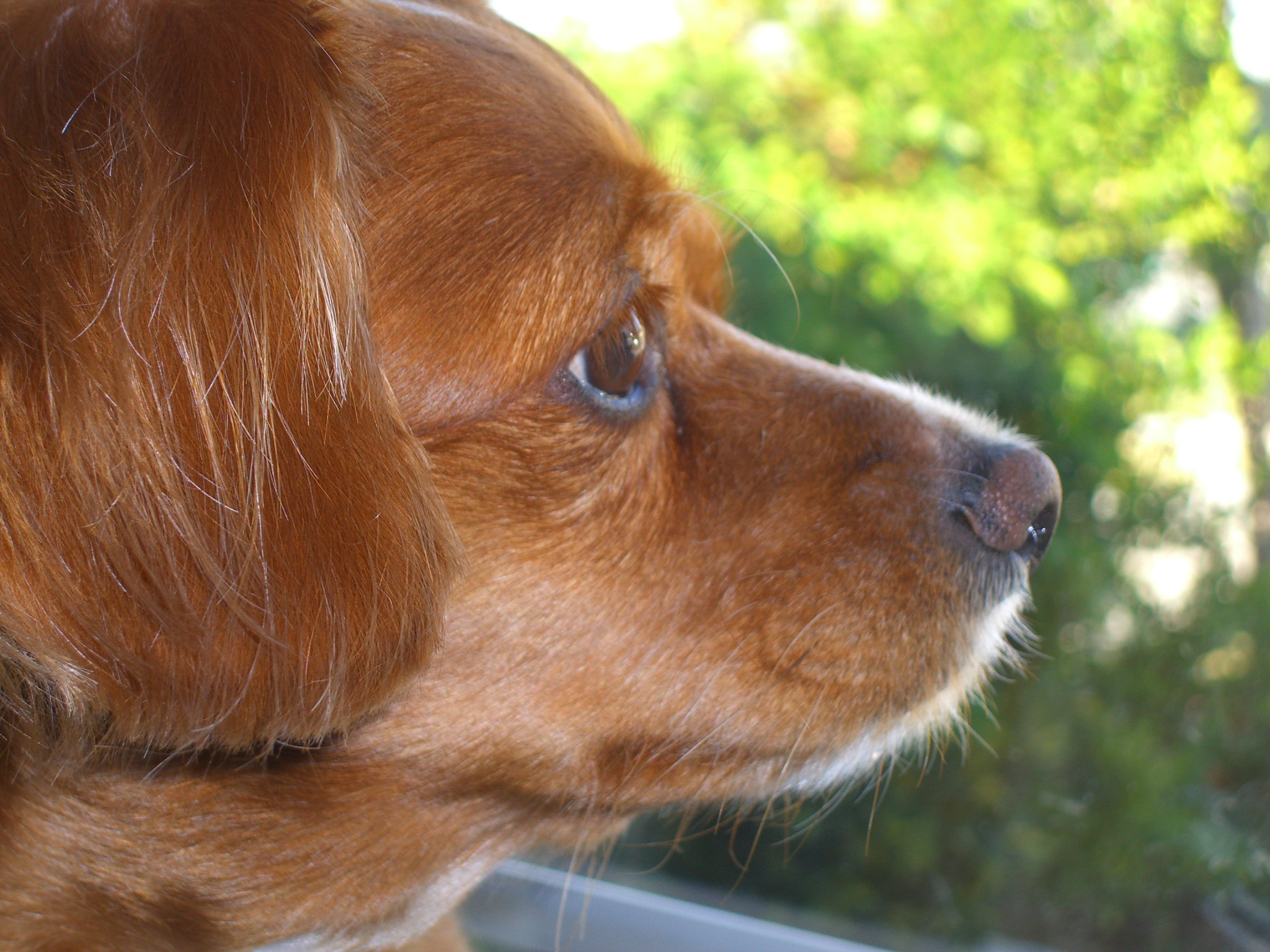 King Charles Cavalier Mix and Terrier