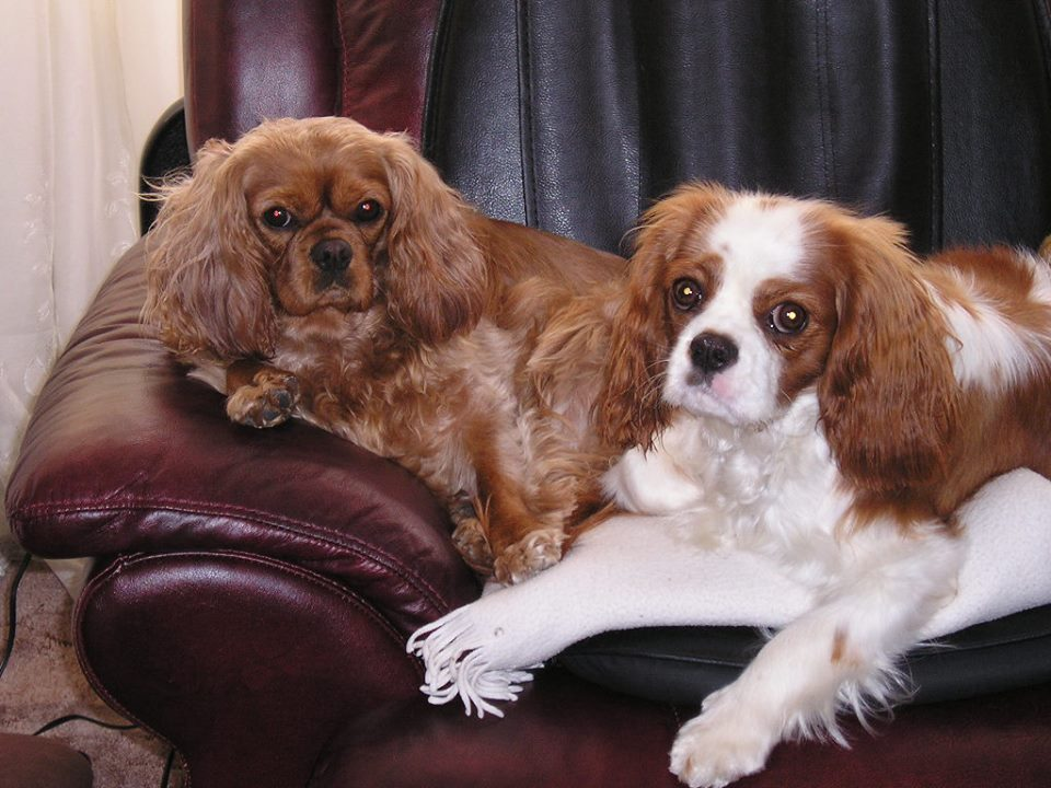 Ruby and Blenhein Cavalier King Charles Spaniel
