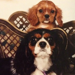 Ruby and Tri Color Cavalier King Charles