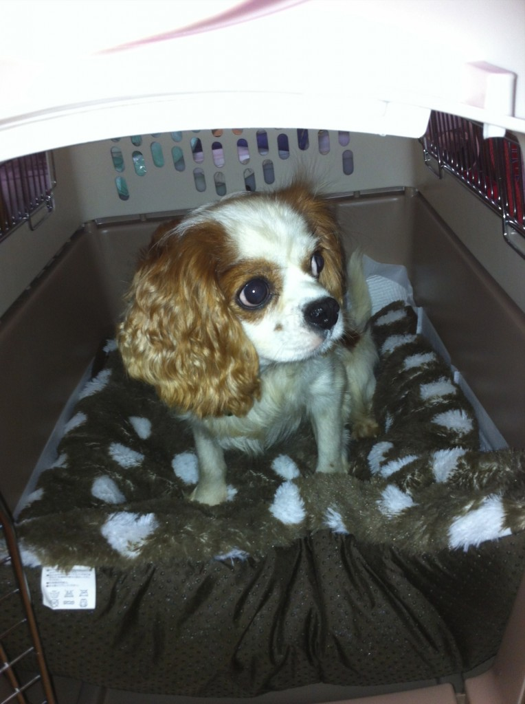 Blenheim King Charles Cavalier Rescue from Japan