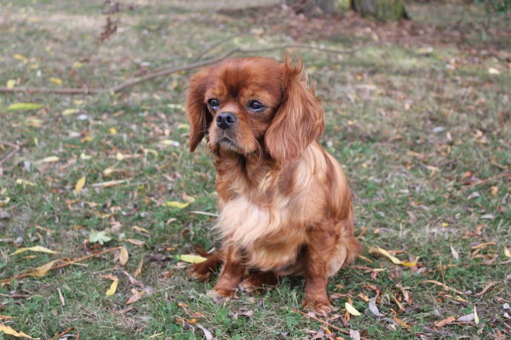 Ruby and Tri-color Cavalier King Charles Spaniels