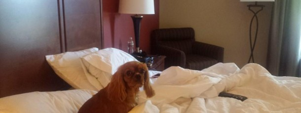Ruby Cavalier King Charles in bed