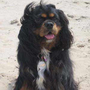 Black and Tan Cavalier King Charles