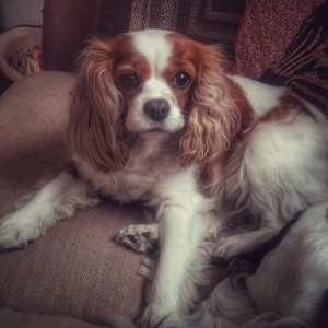 Blenheim Cavalier King Charles