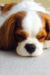 Sweet Snoozing Little Cavalier King Charles Puppy Dog Journal: 150 Page Lined Notebook/Diary
