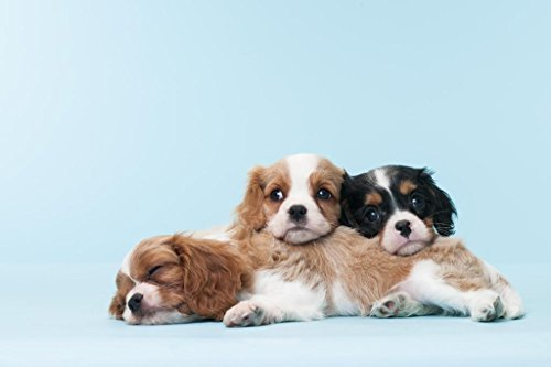 Cavalier King Charles Spaniel Puppies Relaxing Photo Art Print Poster 36×24 inch